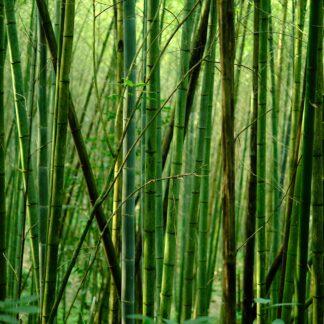 Bambus-Extrakt
